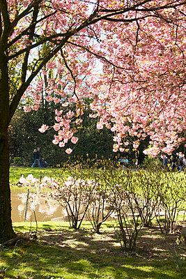 Cherry tree - p978m658346 by Petra Herbert