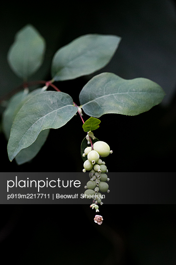 Lily of the valley with  - p919m2217711 by Beowulf Sheehan