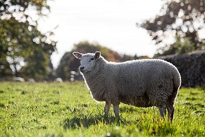 Schaf beim Grasen - p1057m1491783 von Stephen Shepherd