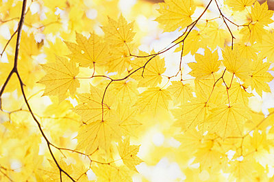 Yellow Autumnal Leaves - p5148634f by a.collectionRF