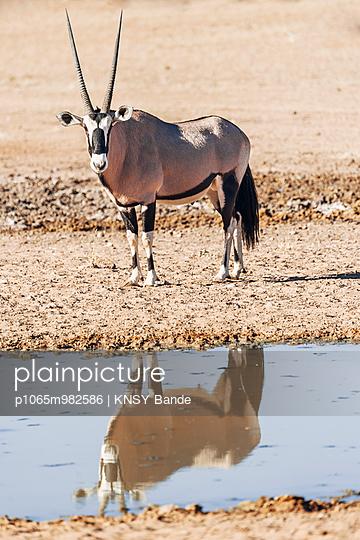 Oryxantilope am Wasserloch, Kalahari, Afrika - p1065m982586 von KNSY Bande