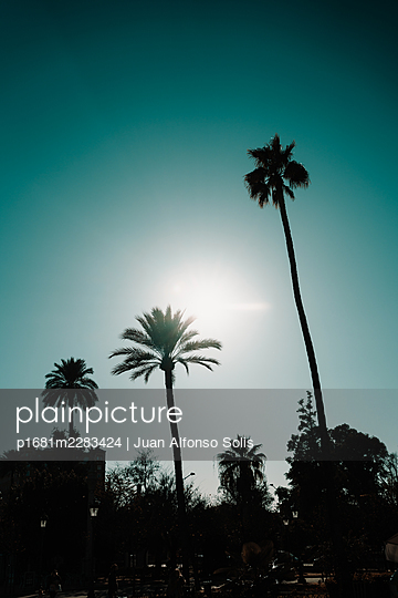Spain, Sevilla, Palm trees - p1681m2283424 by Juan Alfonso Solis
