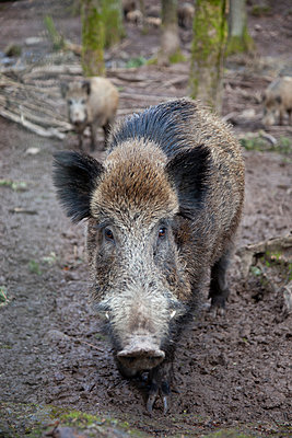 Pack of wild boars - p238m1588916 by Anja Bäcker