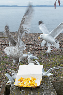 Seagulls feeding on fish and French fries in carton at beach - p609m1101730f by STUDD