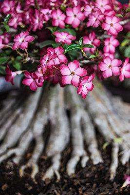 Pink Bonsai tree - p728m2219734 by Peter Nitsch