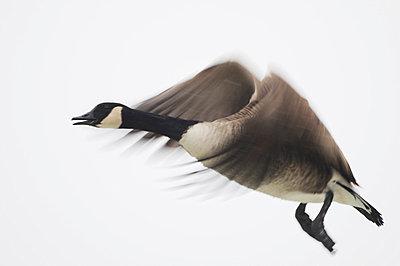 Canada goose - p586m851761 by KNSY Bande