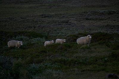 Familie Schaf - p606m957510 von Iris Friedrich