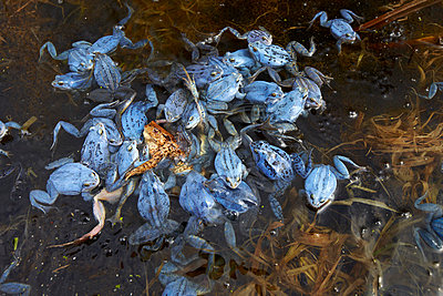 Blue frogs - p719m800700 by Rudi Sebastian