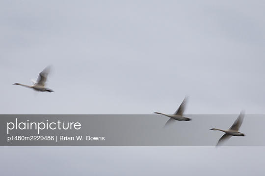 Motion Blur of Tundra Swans Flying - p1480m2229486 by Brian W. Downs