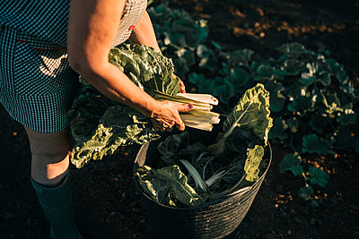 Female farm worker holding chard over basket at field - p300m2293545 by LUPE RODRIGUEZ