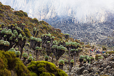 Lobelia morogoroensis plants and hikers on a trail, Kilimanjaro National Park, UNESCO World Heritage Site, Tanzania, East Africa, Africa - p871m1584076 by Christian Kober