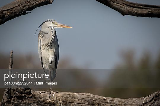 A grey heron, Ardea cinerea, perches on a log - p1100m2292844 by Mint Images