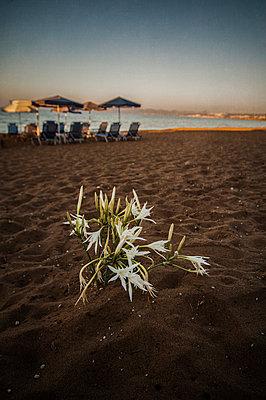 Flowers growing on a sandy beach, Greece - p1047m987403 by Sally Mundy