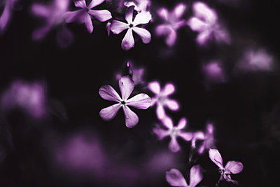 Close-up of lilac flowers - p1166m2094858 by Cavan Images