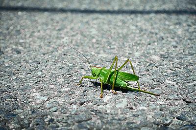 Grasshopper - p851m2077306 by Lohfink