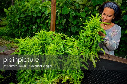 Woman harvesting lettuce in raised bed - p1579m2195690 by Alexander Ziegler