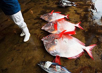 Dead fish lying on concrete - p31226751f by Walstrom, Susanne
