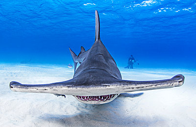 Underwater view of great hammerhead shark swimming over seabed, Alice Town, Bimini, Bahamas - p924m2077782 by Ken Kiefer 2