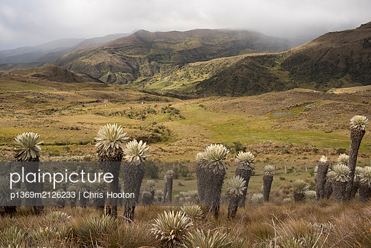 Frailejones - p1369m2126233 by Chris Hooton