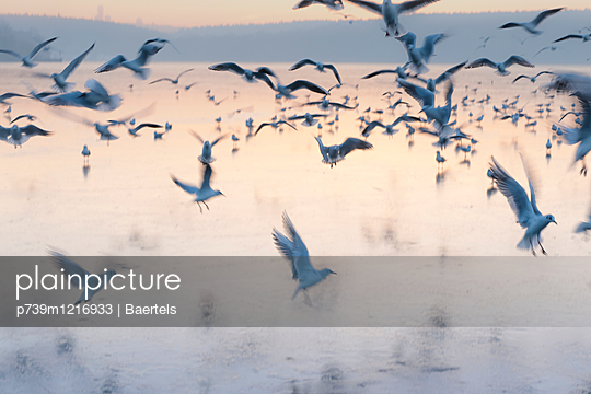 Möwen über zugefrorener Havel - p739m1216933 von Baertels