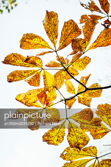 Looking up at autumn leaves on a chestnut tree - p1302m2231252 by Richard Nixon