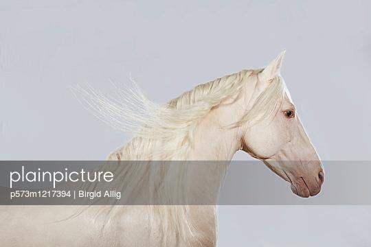 Pferdeportrait - p573m1217394 von Birgid Allig