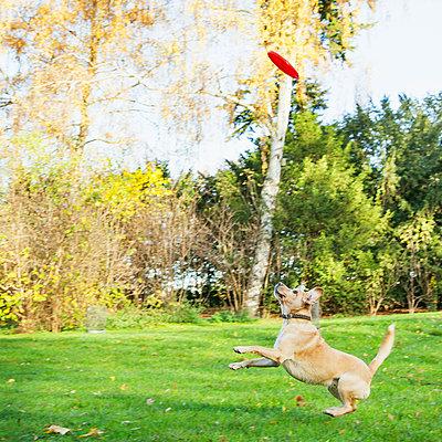 Hund fängt Frisbee - p1008m1065747 von Valerie Schmidt