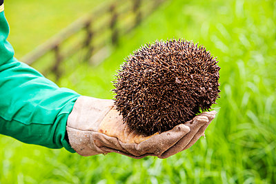 A farmer rescues a Hedgehog from a cattle grid on a farm near Appleby, Cumbria, UK. - p1166m2153840 by Cavan Images