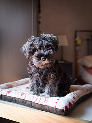 Puppy Schnauzer - p1623m2283714 by Donatella Loi