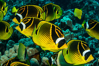 Racoon Butterflyfish (Chaetodon lunula) schooling off the Kona coast, taken while scuba diving with Jack's Diving Locker at Pawai Bay; Kona, Island of Hawaii, Hawaii, United States of America - p442m1180020 by Design Pics