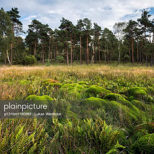 Landschaft bei Wilsede, Bispingen, Naturpark Lüneburger Heide, Niedersachsen, Deutschland - p1316m1160983 von Lukas Wernicke