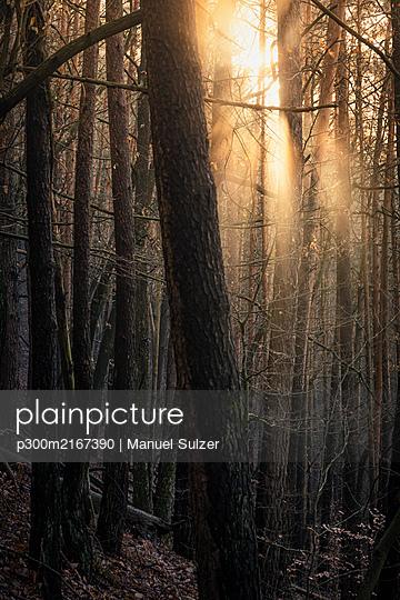 Sun shining through pine forest, Hauenstein, Rhineland-Palatinate, Germany - p300m2167390 by Manuel Sulzer
