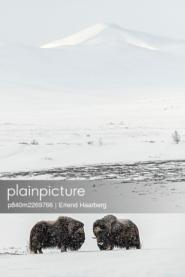 Muskox (Ovibus moschatos) males, Dovrefjell-Sunndalsfjella National Park, Norway, February. - p840m2269766 by Erlend Haarberg
