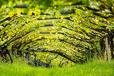 Artist canopy of a row of grape vines with grass growing underneath; Caldaro, Bolzano, Italy - p442m1580452 by Michael Interisano