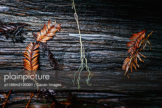 Needles and plants on decaying wood in the forest. - p1166m2130321 by Cavan Images