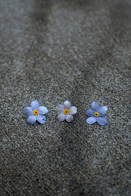Three forget-me-nots - p1228m1574841 by Benjamin Harte