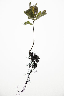 Plant and root against white background - p1624m2223709 by Gabriela Torres Ruiz