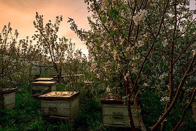 Bee hives near flowering trees - p555m1504255 by Aliyev Alexei Sergeevich