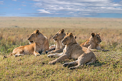 Kenya, Masai Mara, Narok County. A pride of lions rests on a mound overlooking the plains of Masai Mara National Reserve. - p652m941635 by Nigel Pavitt