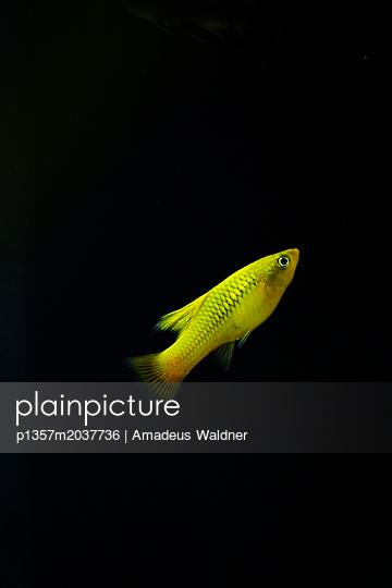Fisch im Aquarium I - p1357m2037736 von Amadeus Waldner