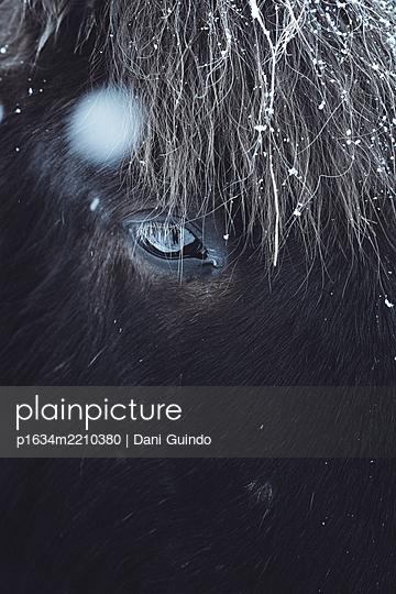 Islandpferd - p1634m2210380 von Dani Guindo