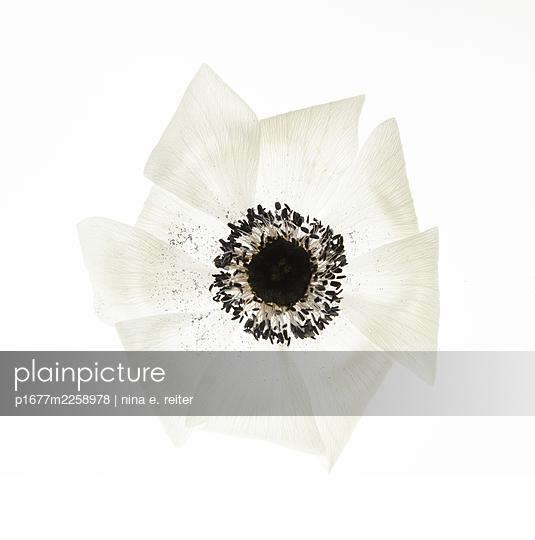 Anemone, blossom against white background - p1677m2258978 by nina e. reiter
