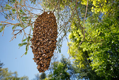 Swarm of bees hanging from tree branch, Massachusetts, USA - p343m1490618 by Paul E Tessier / Aurora Photos