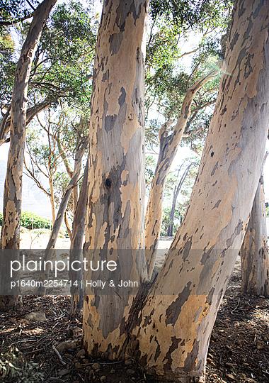 Eucalyptus trees - p1640m2254714 by Holly & John