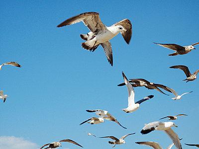Seagulls Against Blue Sky - p6944207 by Freddie Sandström