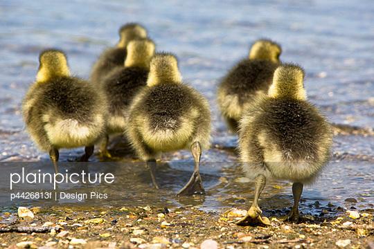 Goslings - p4426813f by Design Pics
