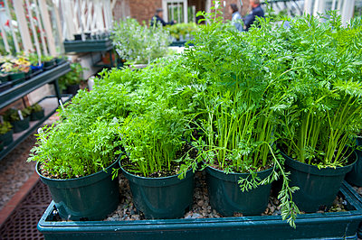 Pots of parsley in garden center, Halifax, NovaÂ_Scotia, Canada - p343m2025982 by Joseph De Sciose