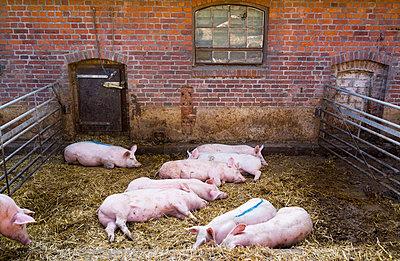Schweine - p1053m793710 von Joern Rynio