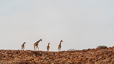 a group of giraffes walking at sunset on the top of a hill - p1166m2177009 by Cavan Images