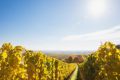 Germany, Rhineland-Palatinate, vineyards in autumn colours, German Wine Route - p300m2042067 by Gaby Wojciech